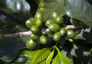 coffee plant with green coffee berries