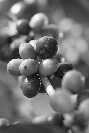 ripening coffee berries on a coffee plant