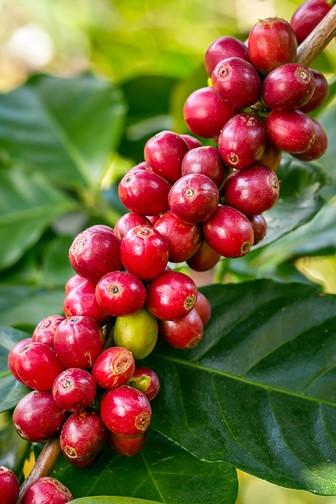 coffee berries ripening on a coffee tree